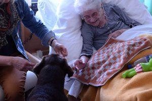 Labrador op bezoek bij oudere vrouw